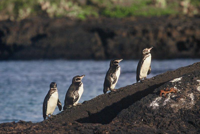 Manchot des Galapagos Spheniscus mendiculus Galapagos Penguin