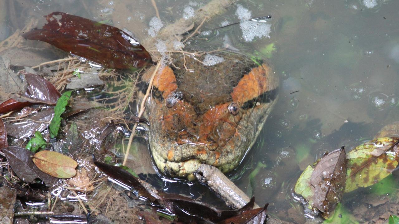 anacondas Equateur