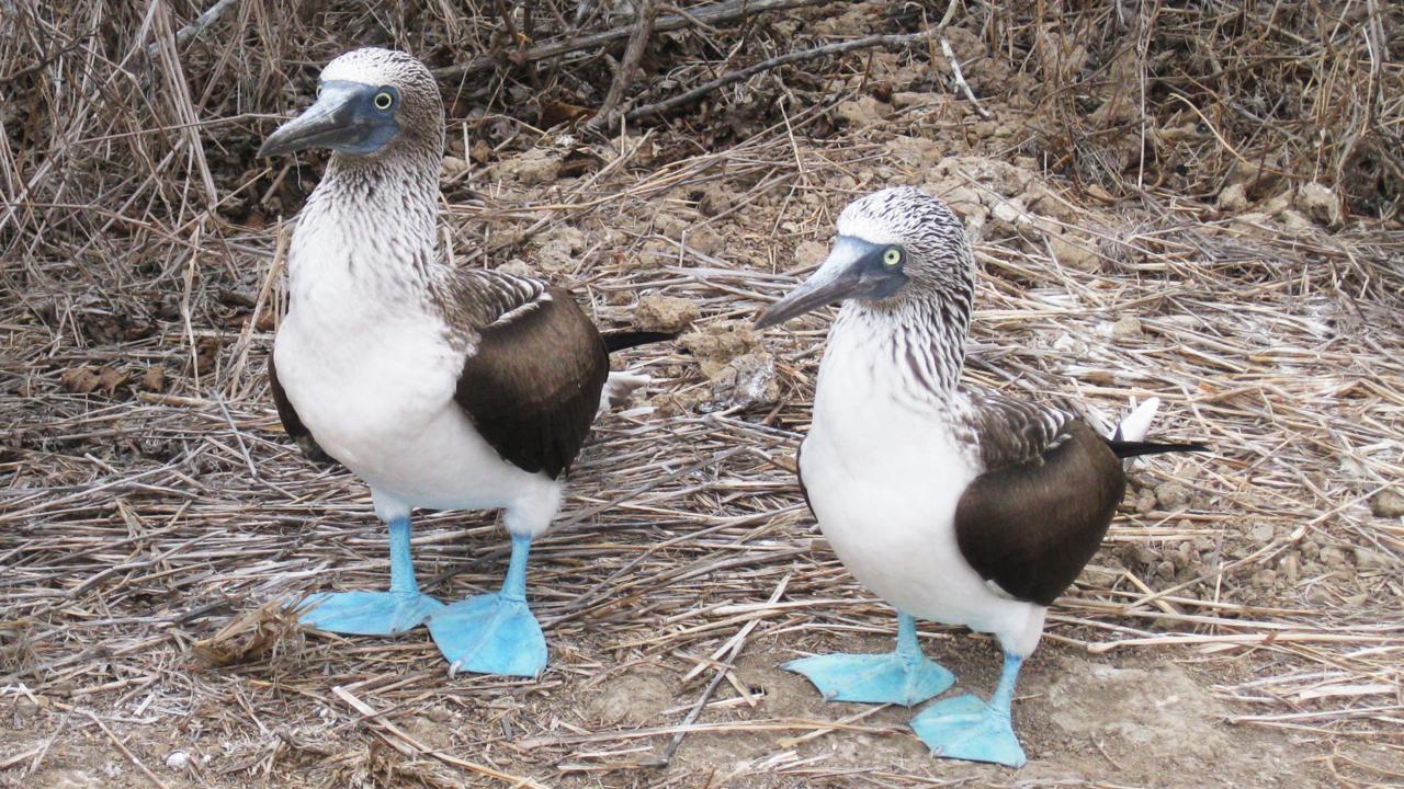 fous à pattes bleues