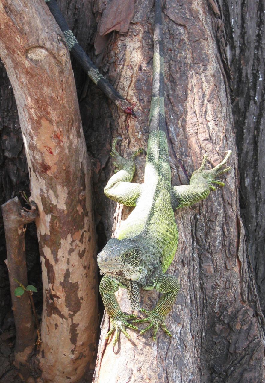 iguanes verts Equateur